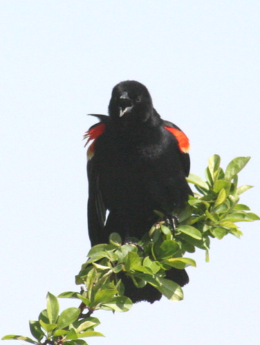 red-winged blackbird squawking
