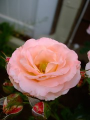 just another (britty_woods91) Tags: pink flowers roses color greenleafs