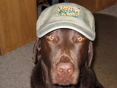 Chey: Chocolate Lab in Military Cap