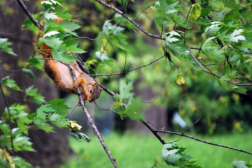 squirrel in a tree at the Morton Arboretum in Lisle, IL