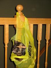 Jinx in a bag (lindsayaldini) Tags: pet cat calico jinx
