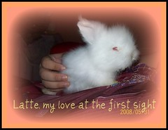 Latte, my new plush toy! (wardahputeri) Tags: white cute rabbit bunny coffee beautiful fur pretty comel adorable fluffy dwarfrabbit jerseywooly cuddly lil latte bun plushtoy bunbun huggable arnab plushtoys coffeelatte my mixbreedrabbit netherlandsdwarffrenchangoramixbreed arnabcomel mynameislatte lopearedangora