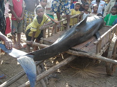 Melon-headed whales stranding in Madagascar