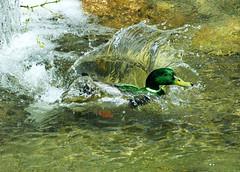 SPLASH (120672) Tags: italy bird duck waterbird mallard anasplatyrhynchos birdwatcher splashdown naturewatcher thewonderfulworldofbirds