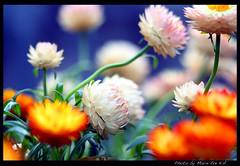 Your Dream Tonight (Marie Eve K.A. (away..)) Tags: pink blue orange plants flower colour macro nature canon flora dof wind bokeh 100mm chapeau botanic elegant fathersday  onblue    fpg flickrdiamond     helichrysumbracteatum