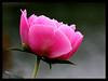 Au chalet de mes amis (LouisY55) Tags: rose excellence photoquebec lysdor