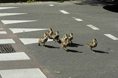 Why did the duckling cross the road (1) (taka_itaha) Tags: road duck cross duckling eend eendjes voorrang haaietanden img6359