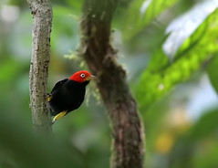 1.5 days in Costa Rica: Red-capped Manakin (spiderhunters) Tags: rainforest costarica redcappedmanakin pipramentalis neotropics cararanationalpark