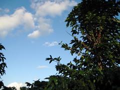 café and sky (parttimefarm) Tags: trees sky coffee brasil farm echapora