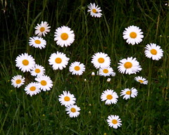 Daisies...... does he love me??? or not ?? (**Ms Judi**) Tags: flowers grass daisies wildflowers simply lovesme lovesmenot
