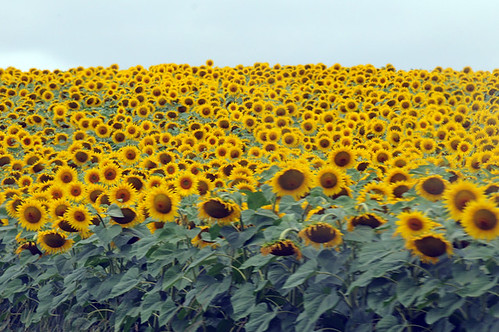 sunflowers_0294 web