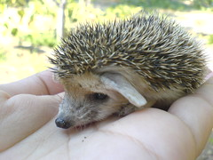 Baby Hedgehog (BlueLunarRose) Tags: cute nature animal hedgehog soe cuteanimal anawesomeshot thatsclassy hedg damniwishidtakenthat