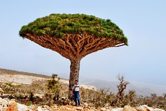 Dragontree Socotra by Pitheas