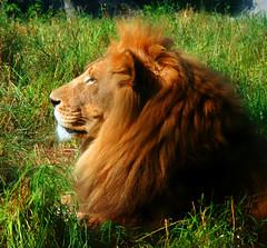 King (.Carter.) Tags: seattle park animal cat canon woodland rebel zoo wa woodlandparkzoo xti mywinners abigfave canonrebelxti anawesomeshot washingtonlionking junglebig passionateinspirations