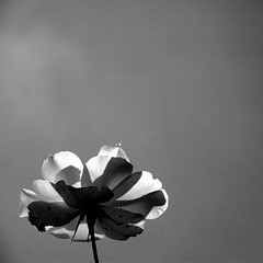 A touch of light from a waking day  Series (Anne*) Tags: light bw flower nature fleur belgium belgique noiretblanc lumire belgi nb explore archives minimalism 2008 blackdiamond wallonie pourme carrfranais atouchoflightfromawakingday unetouchedelumire lveildunjour goldenmasterpiece annedhuart