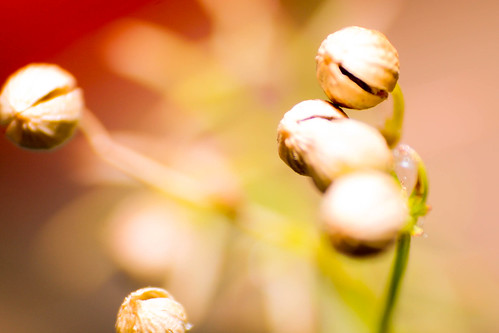 Corriander Seeds by Lemon-Tea, on Flickr