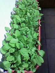 Rabanitos. Segunda generación. Las semillas usadas salieron de la generación anterior.