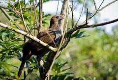 aracu-pintado (kiko koch) Tags: speckledchachalaca ortalisguttata araquem naturethroughthelens