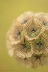 Scabiosa stellata? (My 59th Explore) (_nejire_) Tags: plant flower macro nature canon eos flora kiss bokeh yorkshire explore 60mm harrogate harlowcarr rhs scabiosa 40faves flowerotica nejire 400d mywinners eos400d kissx fave10 1045pm fave30 lomelosia mhashi scabiosastellata lomelosiacretica 3115210830am 1461001am 34172301100am 38182311230pm fave35 fave25 fave40