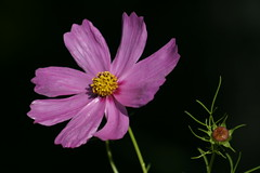 Cosmos (Wind Home) Tags: flowers macro nature canon pretty dof mb cosmos unedited onblack naturethroughthelens