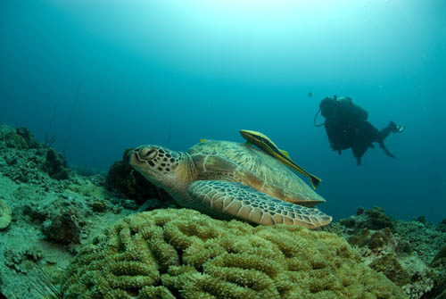 Diver and Turtle on Koh Tao