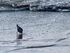Wildwood (PHOTOPHANATIC1) Tags: birds nj wildwood oceanimages