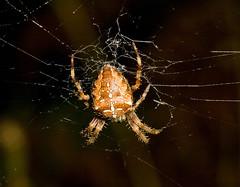 "Garden Cross Spider (Araneus diadema(20) • <a style=""font-size:0.8em;"" href=""http://www.flickr.com/photos/57024565@N00/2867831587/"" target=""_blank"">View on Flickr</a>"