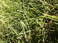 late summer grass (Mamluke) Tags: summer sun sunlight verde green grass long groen vert erba gras grn tageslicht sunlit herbe zonlicht hierba latesummer lumiredusoleil luzdelsol lucesolare