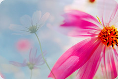 (Yu*Ri) Tags: pink blue red sky flower cute japan nikon dof bokeh iso      d80 good4  goldstaraward goos1 goos2 goos3