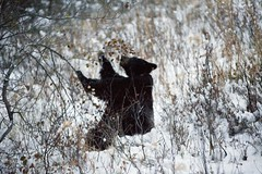 Black Bear (rockinbeat) Tags: jackson yellowstonenationalpark wyoming blackbear nikond700 solcon