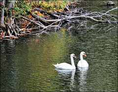 Two White Swans (Terri (I.hope.you.dance)) Tags: lake water swan westvirginia whiteswan moundsville newvrindavan naturethroughthelens