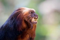 2008-10-23-13h49m15.IMG_9992l (A.J. Haverkamp) Tags: zoo thenetherlands apenheul apeldoorn dierentuin goudkopleeuwaapje goldenheadedliontamarin canonef300mmf4lisusmlens httpwwwapenheulnl