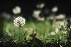 holding my breath (adiemus) Tags: macro closeup spring dof bokeh dandelions tamron90 bokehlicious