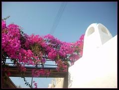 Santorini - Bougainvillea on white and blue (sirinisunshine) Tags: travel flowers blue vacation white island aegean blumen bougainvillea santorini greece griechenland santorin cyclades thira messaria kykladen ysplix flickrphotographeraward