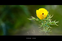 Born with Thorn (Nikijackson) Tags: flower yellow thorn green alone standing bokeh tamilnadu india yellgiri hills cannon400d niki goldstaraward macros canon400d 55mm250mmis nikijackson nicholas chennai