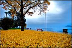 la fine di un ciclo (mbeo) Tags: autumn schweiz switzerland ticino foto suisse explore giallo photograph locarno svizzera autunno lagomaggiore ginkobiloba jellow 14mm muralto mbeo