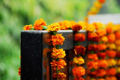 Gainda in bokeh (... Arjun) Tags: wood flowers wedding 15fav orange india black flower color colour reflection green yellow festival 1025fav 510fav iso100 nikon gate asia iron bokeh decoration 100v10f celebration 2550fav 500v50f 50100fav hanging d200 f56 gurgaon 2008 marigold boquet tagetes haryana ruleofthirds 150mm 130s hbw 18200mmf3556g 06ev bokehlicious gainda colorphotoaward bokehwednesday