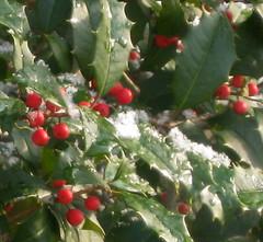 First Snow (sidney flic8) Tags: newjersey berries tistheseason flickraddicts merrychristmasandahappynewyear colourartawards noelnewyearchristmasyeniyil snowonholly sidneyflic8