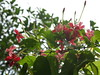Rangoon creeper : close-up (PicturesSG) Tags: plants nature closeup singapore snap creeper rangoon nlb 72dpijpegonly