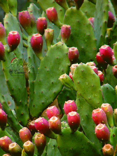 Opuntia_with_fruit