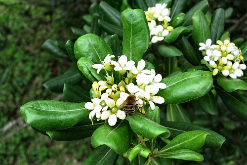 Pittosporum tobira (rq) - 01