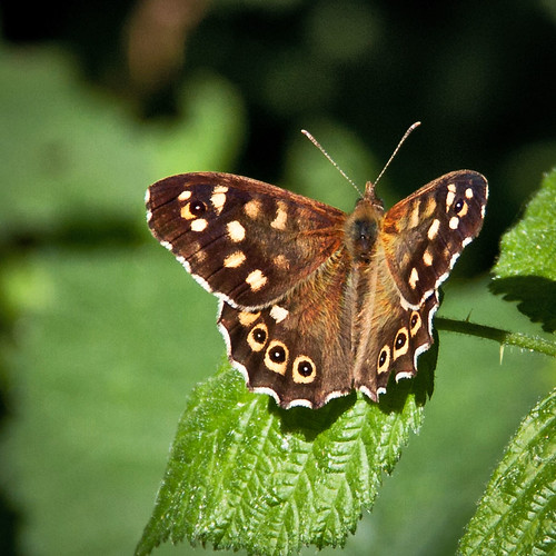 Speckled Wood - 52 WFND 19/52