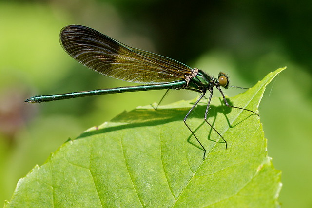 A River Jewelwing damselfly at Belle Prairie County Park, near Little Falls, Minnesota.