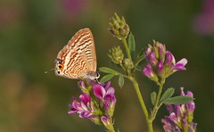 The Plains Cupid - Chilades pandava (TARIQ HAMEED SULEMANI) Tags: summer butterfly wheat harvest tariq khanewal concordians sulemani jahanian plainscupidchiladespandavanature