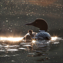 Sunrise ride  one-day old loon (NaPix -- (Time out)) Tags: baby lake canada reflection sunrise stars peace ride mother loon gaviaimmer greatnortherndiver avianexcellence bestcapturesaoi onedayoldloon hdvideoiscomingsoon coastalworldandwaterviewscwwv