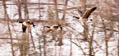 IMG_0713_edited-1 (buddy4344) Tags: wildlife snowgeese copyrightbuddyeleazer