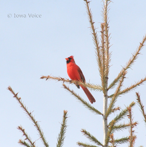 northern cardinal singing 02