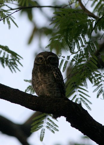 Sainath's Spotted Owlet lalbagh 150308