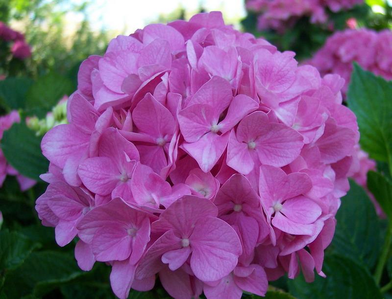 hortensia cor-de-rosa