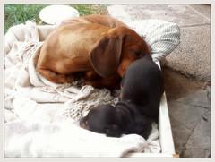 Nena Favorita (manyulopolaz) Tags: las mi de el dachshund cachorro su che resistencia nena rol salchichas perritos poca quien perra ante esos panchitos pone materno pilchas soberano ejerciendo costreros